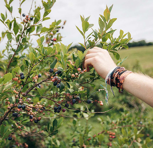 hand berrypicking